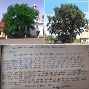 Stejarii Incoronarii din Ocna Mures