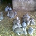Doi minori din Unirea cercetați de polițiști după ce au furat iepurii unei vecine