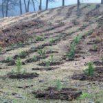 """Amplă acțiune de împădurire pe Dealul """"Banța"""" din Ocna Mureş demarată de ROMSILVA şi Ocolul Silvic Aiud"""