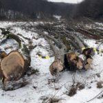 Patru bărbați din Ciugudul de Jos cercetați penal de polițiștii din Ocna Mureș pentru furt de arbori